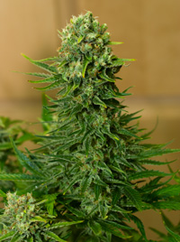Kush Marijuana clones free delivery in Orange County Ca.