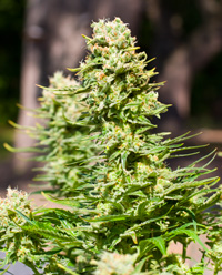 Marijuana Clones for sale premium grade - Kush - Orange County Ca.